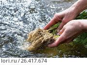 Купить «Common valerian, all-heal, garden heliotrope, garden valerian (Valeriana officinalis), valerian roots are washed in a stream, Germany», фото № 26417674, снято 28 апреля 2015 г. (c) age Fotostock / Фотобанк Лори