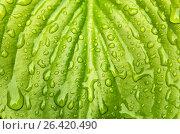 Купить «Капли воды на зеленом листе», фото № 26420490, снято 22 января 2019 г. (c) severe / Фотобанк Лори
