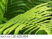 Купить «Узорные листья папоротник, фон», фото № 26420494, снято 22 января 2019 г. (c) severe / Фотобанк Лори