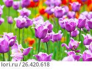 Бахромчатые тюльпаны, фото № 26420618, снято 26 мая 2017 г. (c) Татьяна Белова / Фотобанк Лори