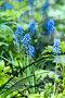 Весенние цветы мускари, фото № 26420622, снято 24 мая 2017 г. (c) Татьяна Белова / Фотобанк Лори
