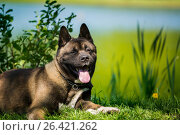 Купить «American Akita dog», фото № 26421262, снято 24 мая 2017 г. (c) Константин Тронин / Фотобанк Лори