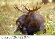 Купить «Elk, European moose (Alces alces alces), lying bull moose, Germany, Mecklenburg», фото № 26422974, снято 24 августа 2019 г. (c) age Fotostock / Фотобанк Лори