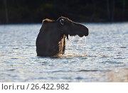 Купить «Eastern moose, Taiga moose, American moose, Canadian Moose, Northeastern moose (Alces alces americana, Alces americana), cow moose feeding aquatic plants, USA, Maine, Baxter State Park», фото № 26422982, снято 24 августа 2019 г. (c) age Fotostock / Фотобанк Лори