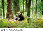Купить «Elk, European moose (Alces alces alces), lying bull moose in a forest, Germany», фото № 26423006, снято 24 августа 2019 г. (c) age Fotostock / Фотобанк Лори