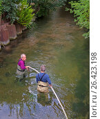 Купить «Brown trout, river trout, brook trout (Salmo trutta fario), two people cleaning the spawning ground in a river, Germany, Bavaria, Die Dorfen, Schwaig», фото № 26423198, снято 18 сентября 2015 г. (c) age Fotostock / Фотобанк Лори