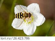 Купить «Hoverfly (Syrphus torvus), female on Parnassia palustris, Germany», фото № 26423786, снято 1 августа 2010 г. (c) age Fotostock / Фотобанк Лори