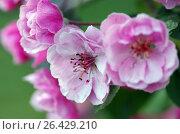 Купить «Цветущая яблоня», фото № 26429210, снято 27 мая 2017 г. (c) Natalya Sidorova / Фотобанк Лори