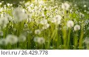 Купить «Field of Dandelions at Sunset», видеоролик № 26429778, снято 24 мая 2017 г. (c) Илья Шаматура / Фотобанк Лори