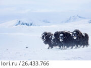 Muskox (Ovibos moschatus), small herd in winter with ice covered faces, Norway, Dovrefjell Sunndalsfjella National Park. Стоковое фото, фотограф A. Hartl / age Fotostock / Фотобанк Лори