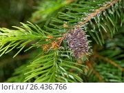 Купить «Red larch gall adelgid, larch adelges, larch woolly aphid (Adelges spec), red larch gall at a pine twig, Germany», фото № 26436766, снято 7 июня 2014 г. (c) age Fotostock / Фотобанк Лори