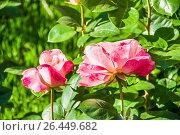 Купить «Роза чайно-гибридная», фото № 26449682, снято 30 мая 2017 г. (c) Алёшина Оксана / Фотобанк Лори