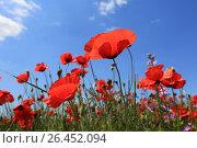 Купить «Цветущие красные маки в поле на фоне голубого неба», фото № 26452094, снято 28 мая 2017 г. (c) Яна Королёва / Фотобанк Лори