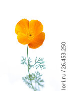 Flower of Californian poppy on white background. Стоковое фото, фотограф Тамара Наянова / Фотобанк Лори