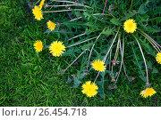 Купить «Relatie dandelions on green grass. Closeup. The view from the top», фото № 26454718, снято 28 мая 2017 г. (c) Виктория Кузьменкова / Фотобанк Лори