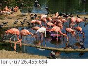 Купить «Розовые и красные фламинго в Московском зоопарке», эксклюзивное фото № 26455694, снято 10 августа 2016 г. (c) lana1501 / Фотобанк Лори