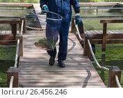 Купить «Работник рыбной фермы идет по деревянным мосткам и несет подсачек с карпом», фото № 26456246, снято 28 мая 2017 г. (c) Светлана Ельцова / Фотобанк Лори