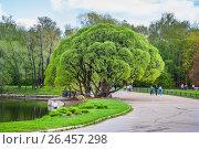 Купить «Ива ломкая Буллата (Salix fragilis Bullata) в Главном Ботаническом саду РАН», фото № 26457298, снято 8 мая 2010 г. (c) Алёшина Оксана / Фотобанк Лори