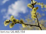 Купить «Pussy willow, goat willow, great sallow (Salix caprea), flowerin catkins, Germany, Bavaria», фото № 26465154, снято 10 марта 2007 г. (c) age Fotostock / Фотобанк Лори