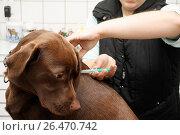 Купить «Labrador Retriever (Canis lupus f. familiaris), at the veterinarian, vaccination», фото № 26470742, снято 18 июля 2008 г. (c) age Fotostock / Фотобанк Лори
