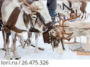 Купить «Reindeer in harness», фото № 26475326, снято 14 марта 2014 г. (c) Владимир Мельников / Фотобанк Лори