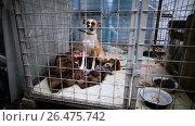Купить «Homeless smooth-haired white with red dog behind bars in an animal shelter. HD», видеоролик № 26475742, снято 5 июня 2017 г. (c) ActionStore / Фотобанк Лори