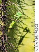 Купить «Arizona tan mantis (Stagmomantis gracilipes), female at Saguaro lurking, USA, Arizona», фото № 26476602, снято 8 ноября 2016 г. (c) age Fotostock / Фотобанк Лори