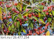 Купить «European spindle-tree (Euonymus europaea, Euonymus europaeus), fruits with hoar frost, Germany», фото № 26477254, снято 12 ноября 2016 г. (c) age Fotostock / Фотобанк Лори