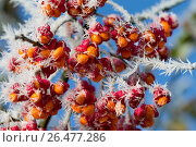Купить «European spindle-tree (Euonymus europaea, Euonymus europaeus), fruits with hoar frost, Germany», фото № 26477286, снято 12 ноября 2016 г. (c) age Fotostock / Фотобанк Лори