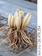 Ramsons (Allium ursinum), digged out bulbs and roots. Стоковое фото, фотограф F. Hecker / age Fotostock / Фотобанк Лори