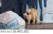 Купить «Брачные игры белых медведей весенним днем в вольере зоопарка. Город Новосибирск», видеоролик № 26483282, снято 13 апреля 2017 г. (c) Григорий Писоцкий / Фотобанк Лори