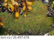 Snakelocks anemone, opelet anemone (Anemonia sulcata, Anemonia viridis), snakelocks anemone on the ground with bladder wrack. Стоковое фото, фотограф F. Hecker / age Fotostock / Фотобанк Лори
