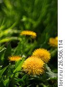 Купить «Close up of blooming yellow dandelion flowers», фото № 26506114, снято 27 мая 2017 г. (c) Илья Малов / Фотобанк Лори