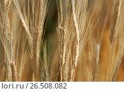 Купить «Eincorn Wheat (Triticum monococcum ssp. monoccocum), spikes», фото № 26508082, снято 10 декабря 2019 г. (c) age Fotostock / Фотобанк Лори