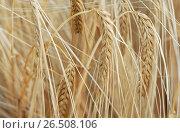 Купить «Barley (Hordeum distichon var. nudum, Hordeum vulgare ssp. distichon var. nudum), spikes», фото № 26508106, снято 10 декабря 2019 г. (c) age Fotostock / Фотобанк Лори