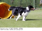 Купить «Собака породы бордер колли на трассе Адилити», фото № 26515270, снято 21 мая 2017 г. (c) Анна Зеленская / Фотобанк Лори