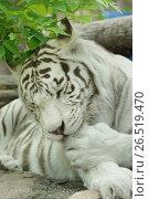 Купить «Белый тигр вылизывает лапу», фото № 26519470, снято 11 июня 2017 г. (c) Валерия Попова / Фотобанк Лори