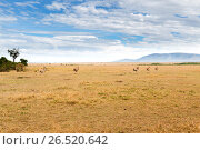 eland antelopes grazing in savannah at africa (2017 год). Стоковое фото, фотограф Syda Productions / Фотобанк Лори