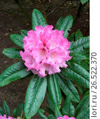 Купить «Rhododendron (Rhododendron 'Fruehlingsleuchten'), early flowering, hardy ornamental bush, inflorescence», фото № 26522370, снято 18 октября 2018 г. (c) age Fotostock / Фотобанк Лори