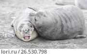 Купить «Baby Elephant Seals in South Georgia», видеоролик № 26530798, снято 19 мая 2017 г. (c) Vladimir / Фотобанк Лори