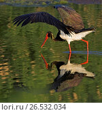Купить «Black stork (Ciconia nigra), foraging in water, Greece, Lesbos», фото № 26532034, снято 17 мая 2008 г. (c) age Fotostock / Фотобанк Лори