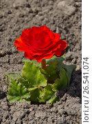 Купить «Бегония клубневая (лат. Begonia tuberhybrida)», фото № 26541074, снято 19 мая 2017 г. (c) Елена Коромыслова / Фотобанк Лори