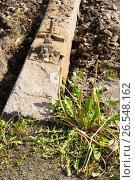 Купить «Демонтаж трамвайных путей. Сломанный одуванчик на фоне бетонной шпалы», эксклюзивное фото № 26548162, снято 10 июня 2017 г. (c) Александр Щепин / Фотобанк Лори