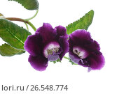 Купить «Beautiful blooming flower violet», фото № 26548774, снято 17 июня 2017 г. (c) Peredniankina / Фотобанк Лори