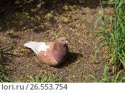 Dove. Стоковое фото, фотограф Антон Соваренко / Фотобанк Лори