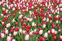 Тюльпаны Тюльпаны Candy Apple Delight (Кэнди Эпл Дилайт) и Cherri Delite (Черри Дилайт). Фестиваль тюльпанов на Елагином острове. Санкт-Петербург, фото № 26555326, снято 27 мая 2017 г. (c) Александр Щепин / Фотобанк Лори