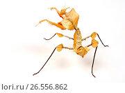 Купить «Devil's flower mantis, Giant devil's flower mantis (Idolomantis diabolica), scurrile shaped mantis», фото № 26556862, снято 16 июля 2012 г. (c) age Fotostock / Фотобанк Лори