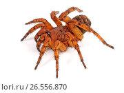 Купить «Trapdoor spider (Liphistius erawan), very poisonous Trapdoor spider from Thailand, cut-out, Thailand», фото № 26556870, снято 20 ноября 2013 г. (c) age Fotostock / Фотобанк Лори