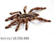 Togo Starburst Baboon, Ornament Tarantula (Heteroscodra maculata), cut-out. Стоковое фото, фотограф B. Trapp / age Fotostock / Фотобанк Лори