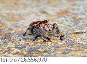 Купить «Jumping spiders, regal jumping spider (Phidippus regius), female», фото № 26556970, снято 9 января 2012 г. (c) age Fotostock / Фотобанк Лори